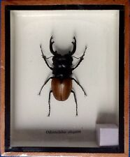 1 REAL EXOTIC STAG BEETLE ODONTOLABIS ELEGANS INSECT TAXIDERMY FRAMED ENTOMOLOGY