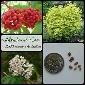 20-RED-ELDERBERRY-TREE-SEEDS-Sambucus-racemosa-Organic-High-Yeilding