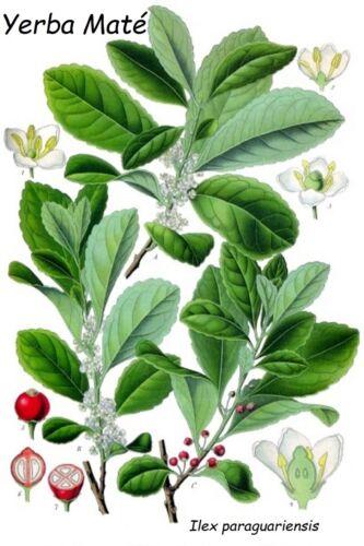 ~Yerba Mate~ Ilex paraguariensis Chimarrao Herbal Tea 2-3ft Potted medium Plant