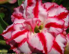 Adenium Obesum Desert Rose - CX Rounglai - Perennial Bonsai Seeds (5)