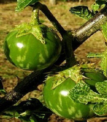 Die Thai-Aubergine Samen exotisches Gemüse für das Frühjahr den Garten Balkon