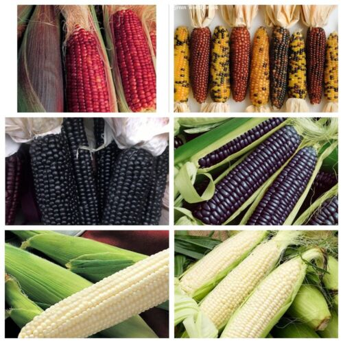 40Pcs Corn Vegetable Seeds Poaceae Zea Mays Tlaolli Rare 20 Kinds Organic Plants