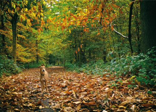 whippet greeting card birthday greyhound lurcher sighthound autumn art woods