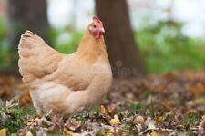 12 Buff Orpington Fertile Hatching Eggs Ships from Ohio 1 dozen