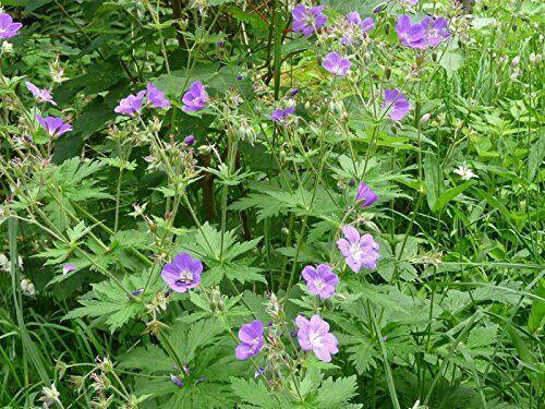 Geranium pratense 60 Samen MENGENRABATT !!! Wiesen-Storchschnabel Wildform