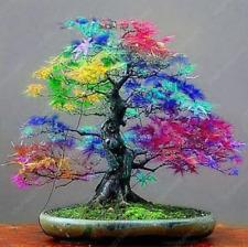 Best Selling Blue Maple Tree Bonsai Bonsai Tree Plants Rare Sky Blue Japanese For Sale Online Ebay