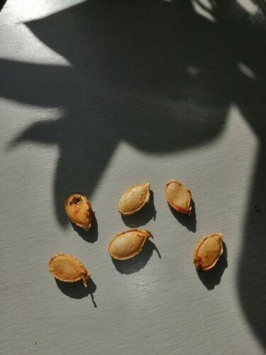 6 graines de potiron BIO