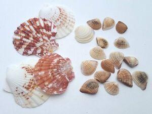 Muscheln 2 Sort Ca 50g Strand Urlaub Maritim Meer Deko
