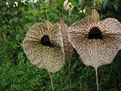 40 Aristolochia grandiflora Pelican Flower fresh seed pseudocarnivorous flower!