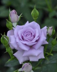 Rare Purple Rose Bush 50++ Seeds -  Beautiful & Exotic perennial flowers !