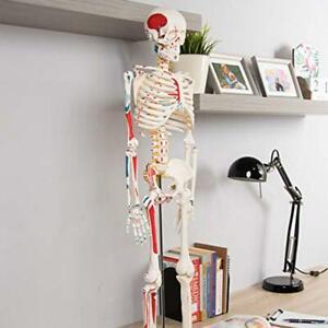4D-Puzzle-Skeleton-Human-Anatomy-Series-3D-Teaching-Model