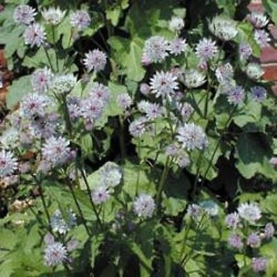 Astrantia - Major Primadonna - 35 Seeds
