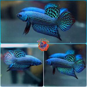 Live Betta Fish Male FIGHTING Mahachai Wild Betta #B603