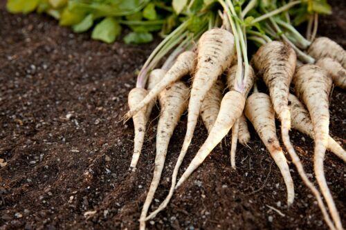 PARSNIP HOLLOW CROWN 50 Seeds AUTUMN WINTER frost hardy Vegetable Garden NONGMO