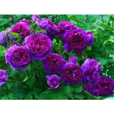 15 Pcs Purple Climbing Rose Flower Seeds Imported Good seeds Beautiful Garden