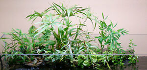 1 Bunch Oxygenating Terrarium Water Aquarium Live Plants
