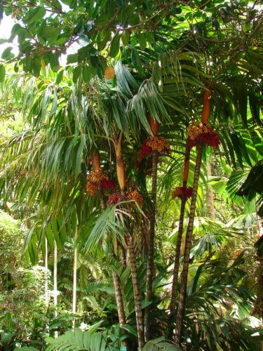 ~Orange Collar Palm~ COLORFUL PALM TREE Areca vestiaria Nice 2-3ft Potted PLANT