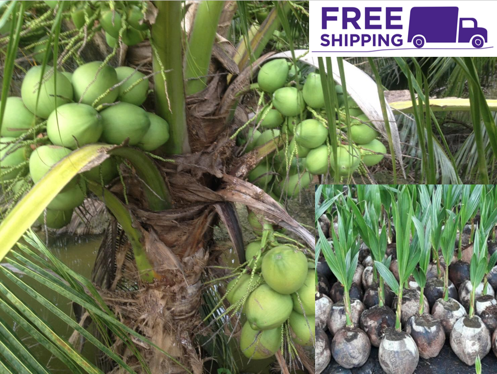 1 Coconut Dwarf Palm seed Coqueiro anao with shoots Tropical Tree juice Fagrance