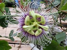 Passiflora Edulis Golden Giant Vine 10 Seeds, Passion Fruit From USA!
