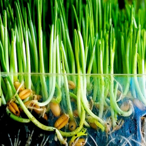 New harvested cat grass 1oz//approx 800 seeds Kit Green including growing guide