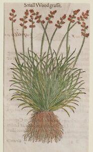 JOHN-GERARD-BOTANICA-MATTHIOLI-SMALL-WOOD-GRASSE-FIORI-FLOWERS