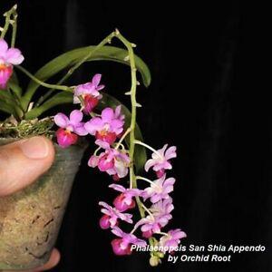TS1020-159-Phalaenopsis-San-Shia-Appendo-Bare-Root-Miniature-T101