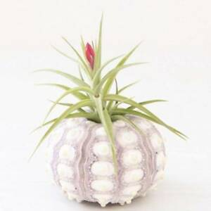 Image Is Loading Sea Urchin Air Plants Desktop Holder Tillandsia Miniature