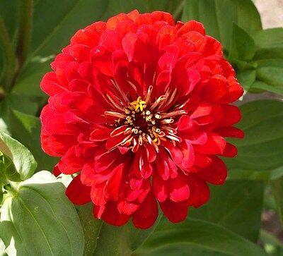 FLOWER ZINNIA GIANT CHERRY QUEEN 2.0 GRAM ~ APPROX 210 FINEST SEEDS