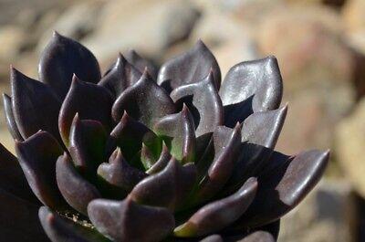 4 Foglie Pianta Grassa Echeveria LOla blue Echeveria succulent leaves