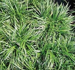 DWARF-GREEN-MONDO-GRASS-Ground-cover-Landscaping-5-plants-for-10-00
