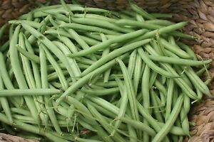 Provider Bush Green Bean Seeds, NON-GMO, Variety Sizes Sold, FREE SHIPPING