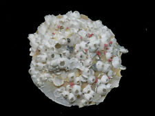 Formosa/new shells/Stellaria chinensis 91.5mm.natue with