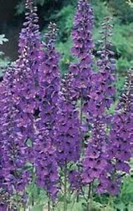 50-BLACK-KNIGHT-DELPHINIUM-Cultorum-Pacific-Giant-Larkspur-Flower-Seeds-CombS-H