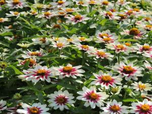 50-Zinnia-Seeds-Phoenix-Rose-Star-FLOWER-SEEDS
