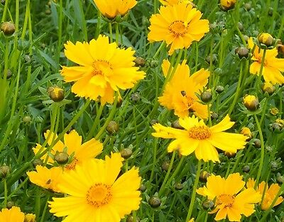 Coreopsis lanceolata - Mayfield Giants - 100 seeds -  Hardy Perennial