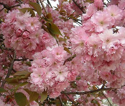 Japanese Flowering Cherry, Prunus serrulata, Tree Seeds (Fast, Showy, Fall Color