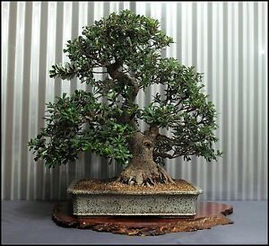 Banksia Integrifolia Plants Bonsai Tree Starter Fast Strong Grower Ebay