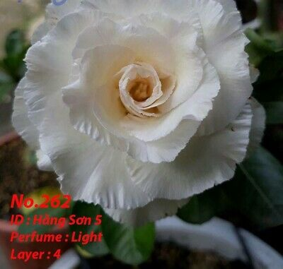 10 PCS Grafted Adenium Obesum//Desert Rose Seeds