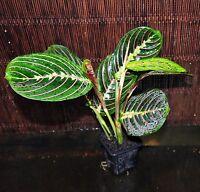 (4) Prayer Planst Red Maranta Gorgeous Plants Excellent Tropical Houseplant Easy