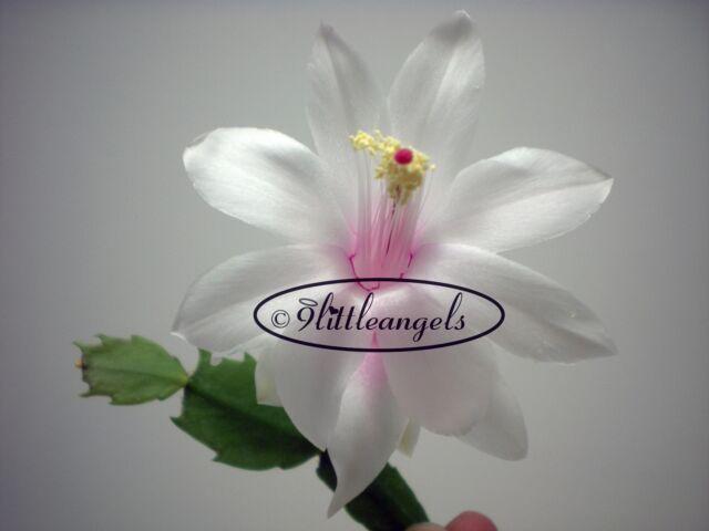 'ANGEL KISSES'  Starter Plant Christmas Cactus Schlumbergera 3 CUTS 3 SEGMENTS