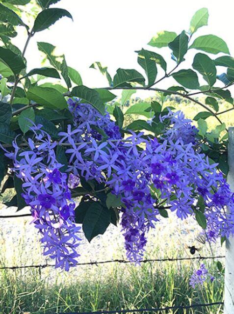 25 Seeds Queens Wreath Petrea Volubilis L Purple Flower Vine Climb