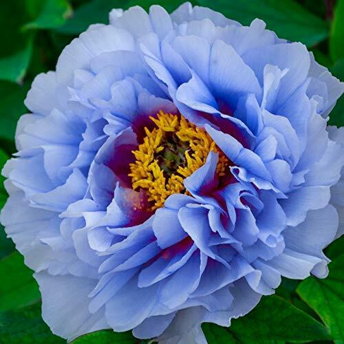 Yellow Peony Roots Perennial Resistant Blooms Reblooming Rhizome Flower Garden