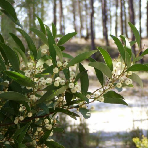 BLACKWOOD ACACIA Acacia Melanoxylon 10,20 SEEDS