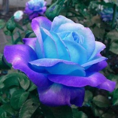 50Pcs Blue-Pink Rose Flower Seeds Home Garden Plants Rare !!!