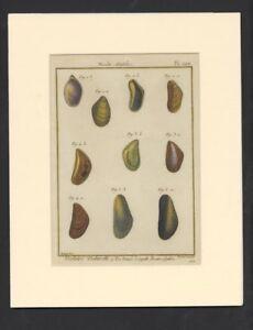 Histoire-Naturelle-18th-Century-Shell-Print-Pl-220