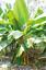 Musa Ochracea 8 Seeds Rare Asian Banana Fruit Tree Tropical Ornamental