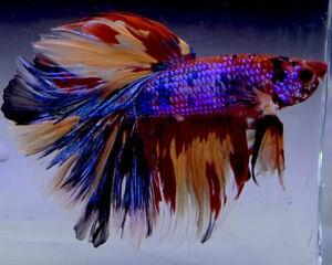 STUNNING Live Male Betta Fish Multi-Color Halfmoon