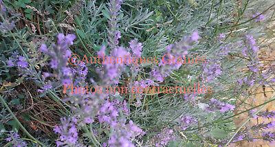 30//180 Graines de Romarin Plante Herbe Vivace Aromatique Orientale