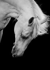 STUNNING HORSE PORTRAIT EQUESTRIAN #35 QUALITY CANVAS PICTURE WALL ART A1