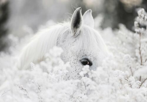 Fauna Fototapete XXL Wandbilder Tapete 249516FW Weißes Pferd im Schnee  Tiere